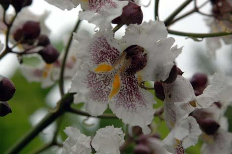 catalpa-blom