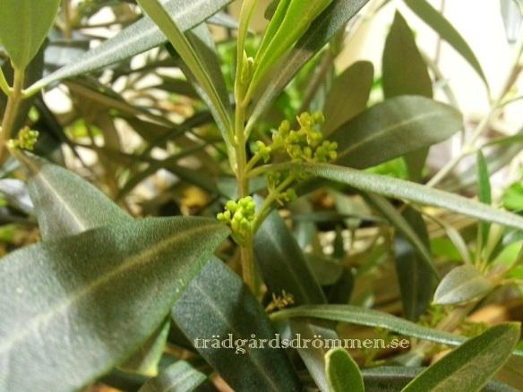 Att vinterförvara olivträd...