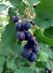 Amelanchier alnifolia - Saskatoon (2)