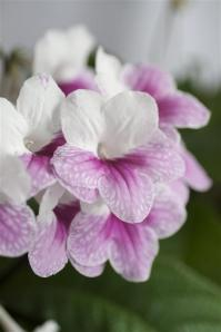 Kornettblomma_nara_Streptocarpus_x_hybridus_HR_Fot_474x2000
