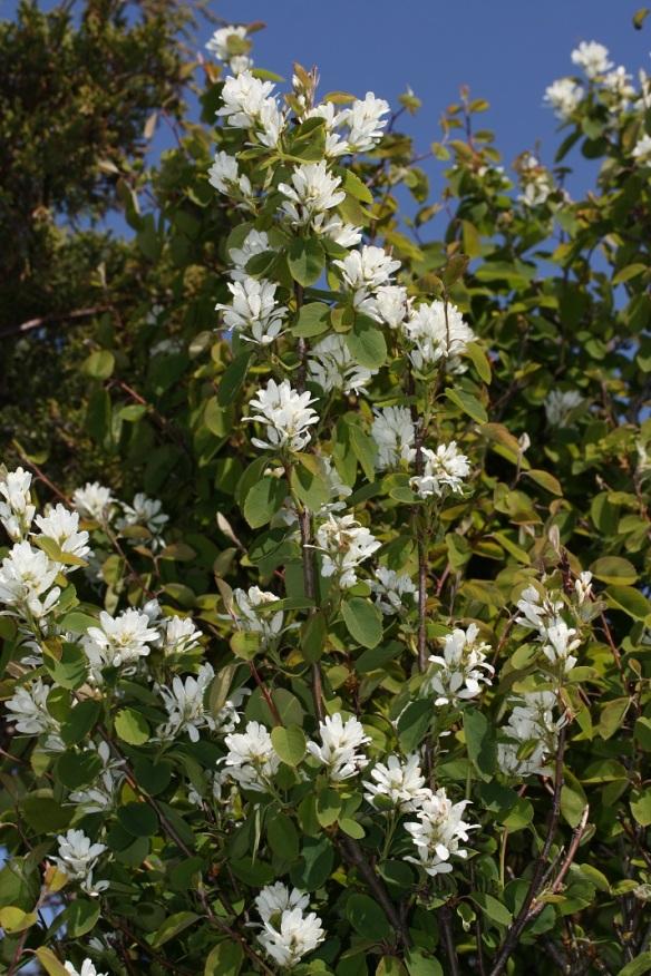 Amelanchier_alnifolia_6441