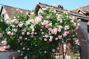 Eden rose 88