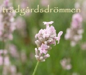 rosa lavendel