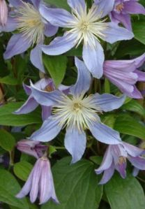 clematis-blue-river