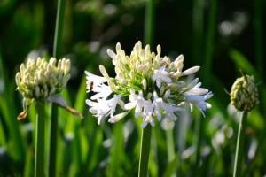 Afrikas vita lilja