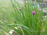 gräslök