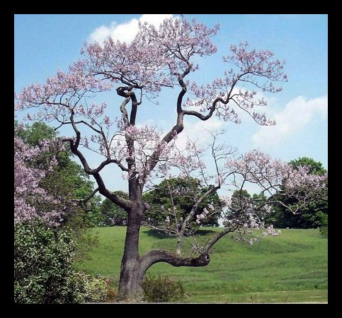 kejsarträd