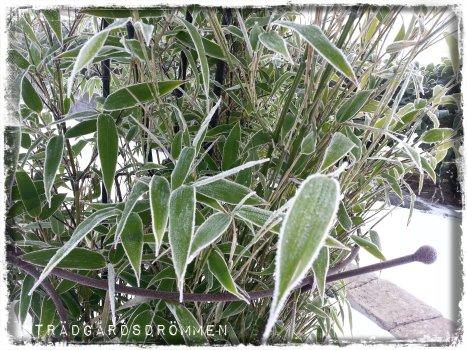 bambu frost