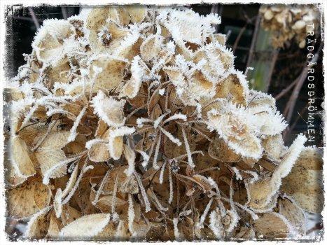 hortensia frost