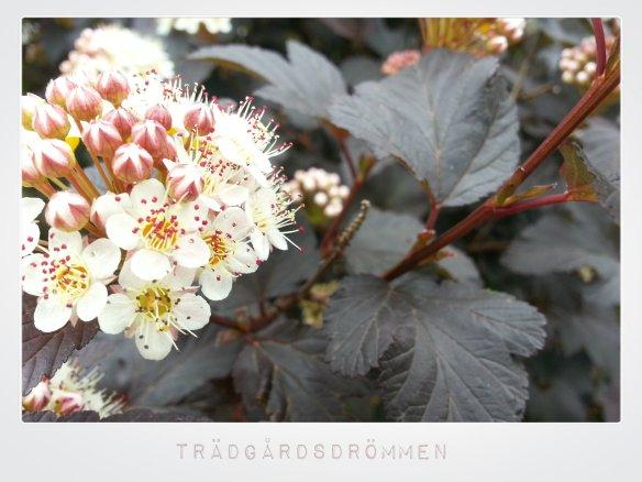Rödbladig smällspirea