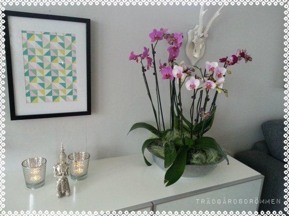 thai orkidee