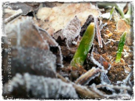 tulpan frost