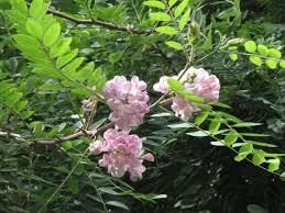 rosenrobinia