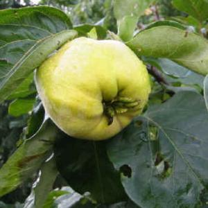 päronkvitten frukt